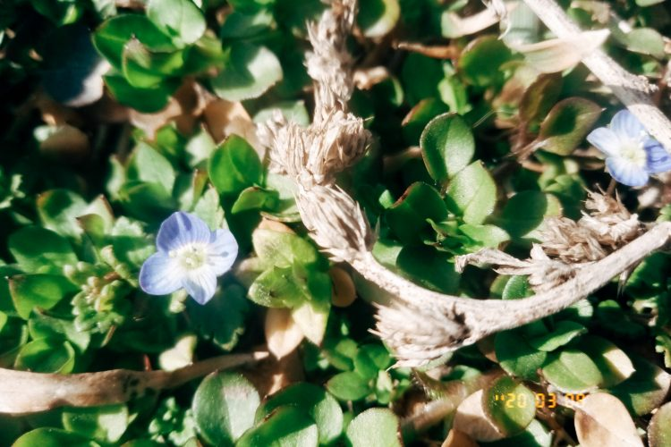 Small blue flowers photo. Part 2