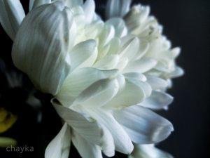 White spring flowers photo