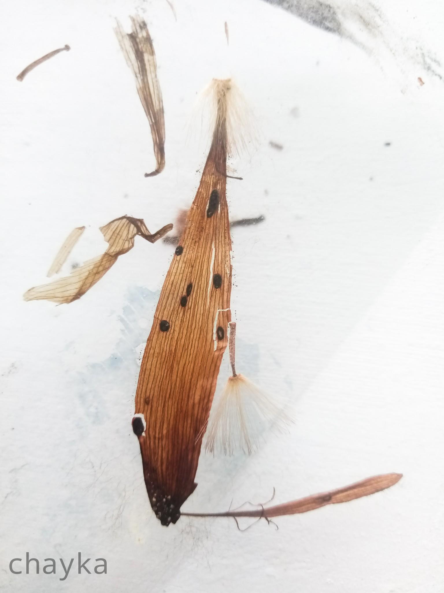 dried herbarium photo