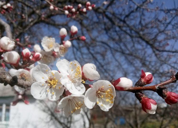 Flowering apricot tree  – beautiful photos. Part 2