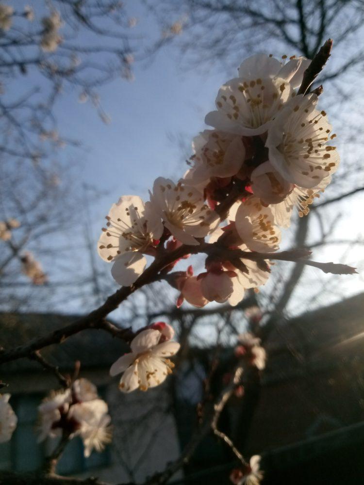 Flowering apricot tree  – beautiful  photos