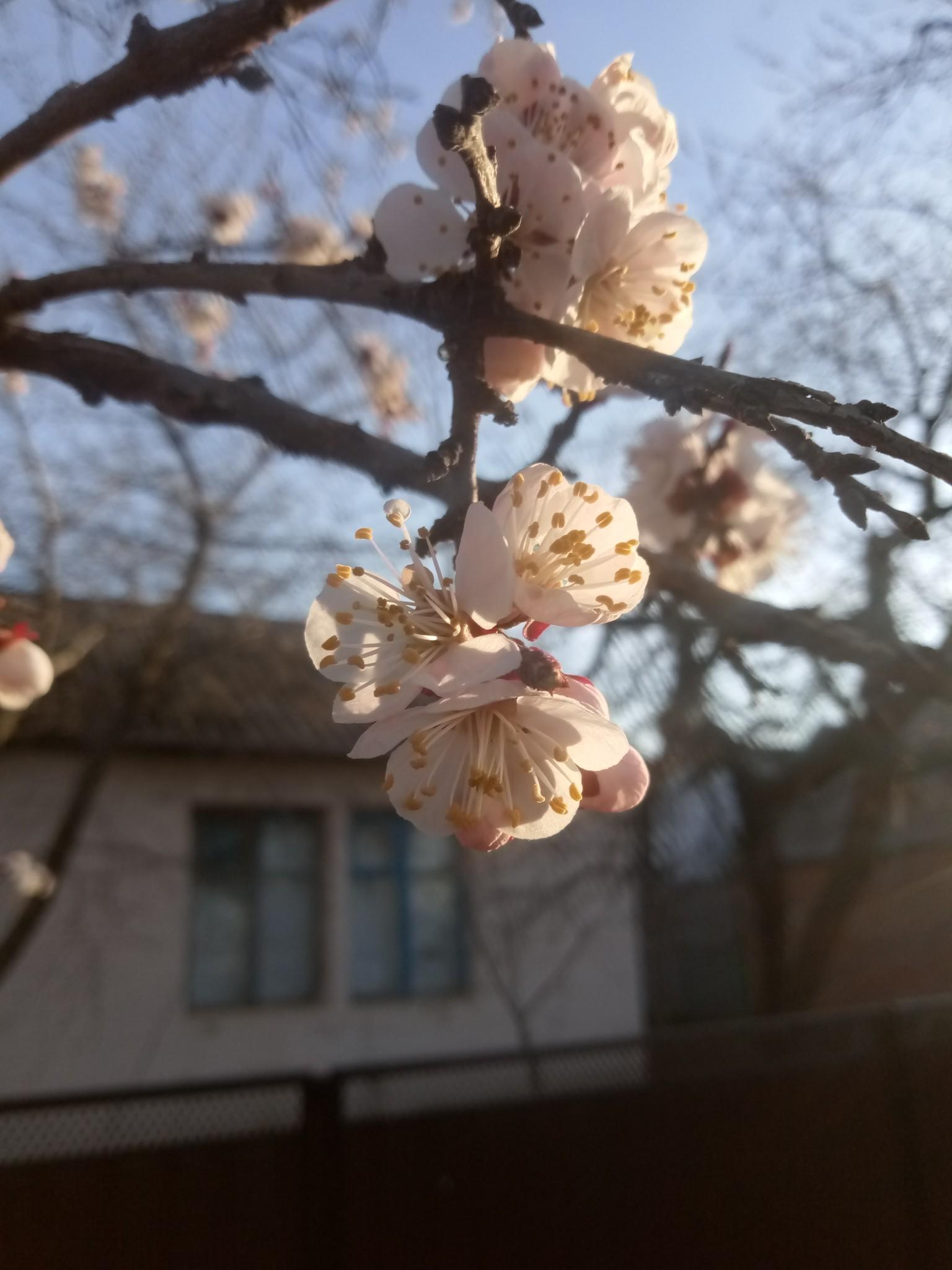 Apricot blossoms photo