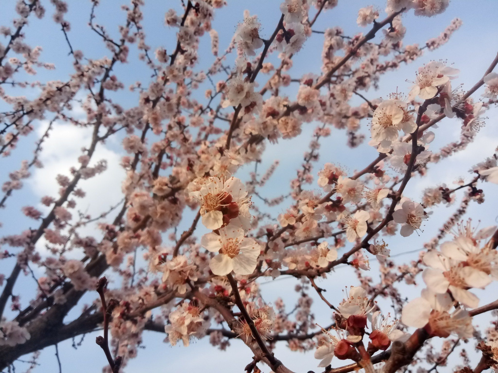 Flowering apricots photo