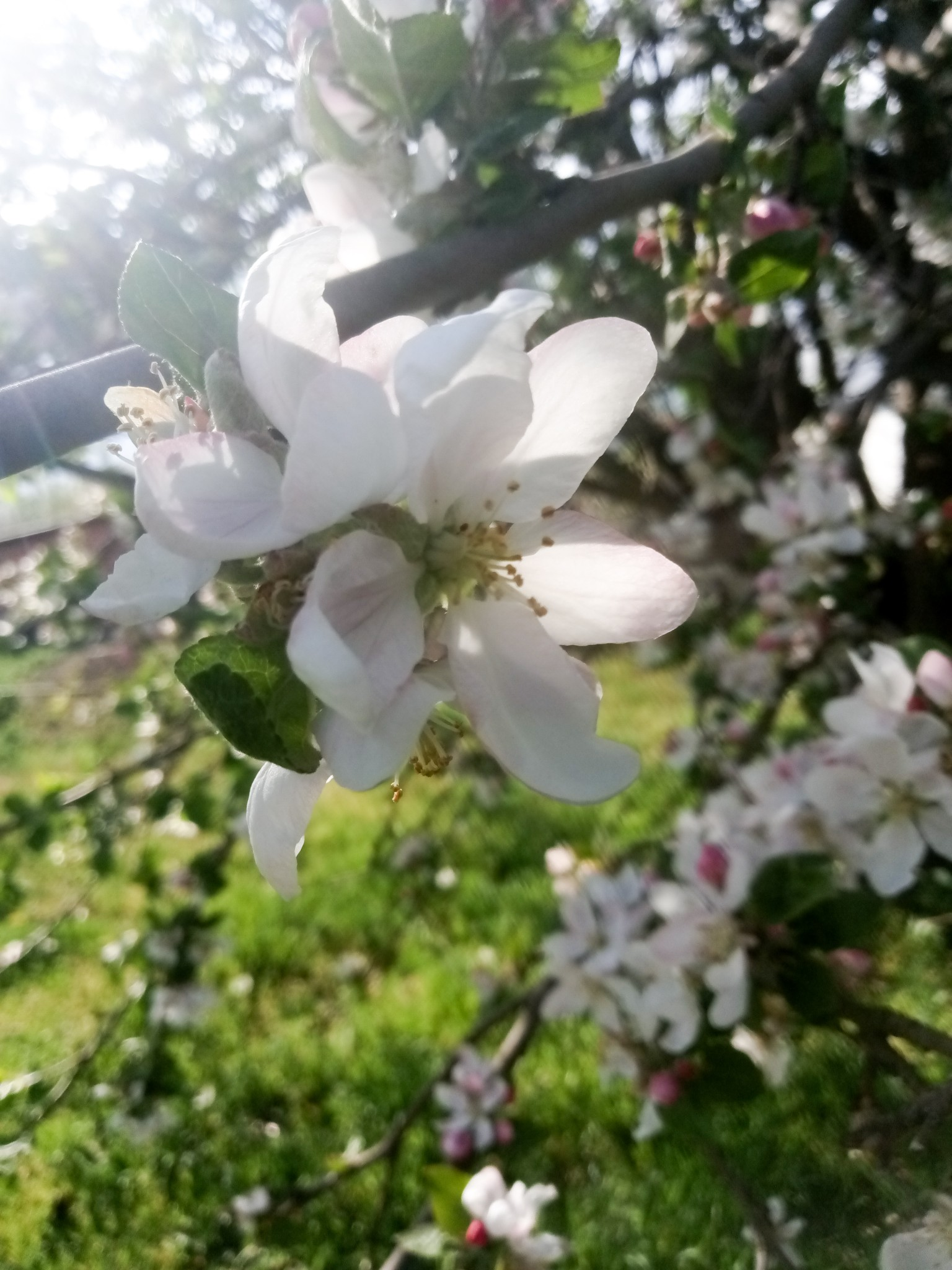 flowering apple tree - beautiful photo