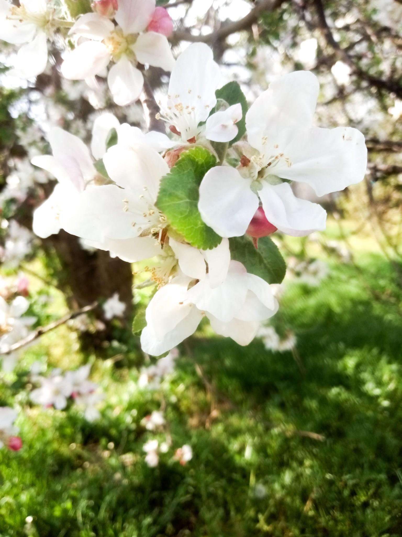 flowering apple tree - beautiful picture