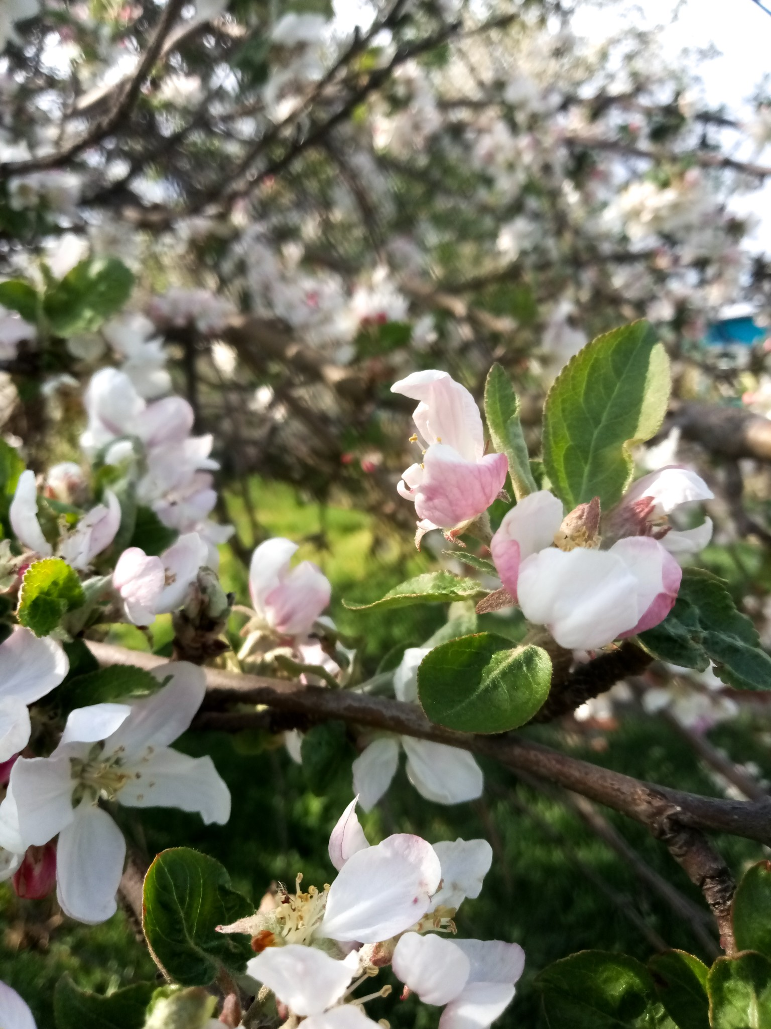 flowering apple tree - photo 1