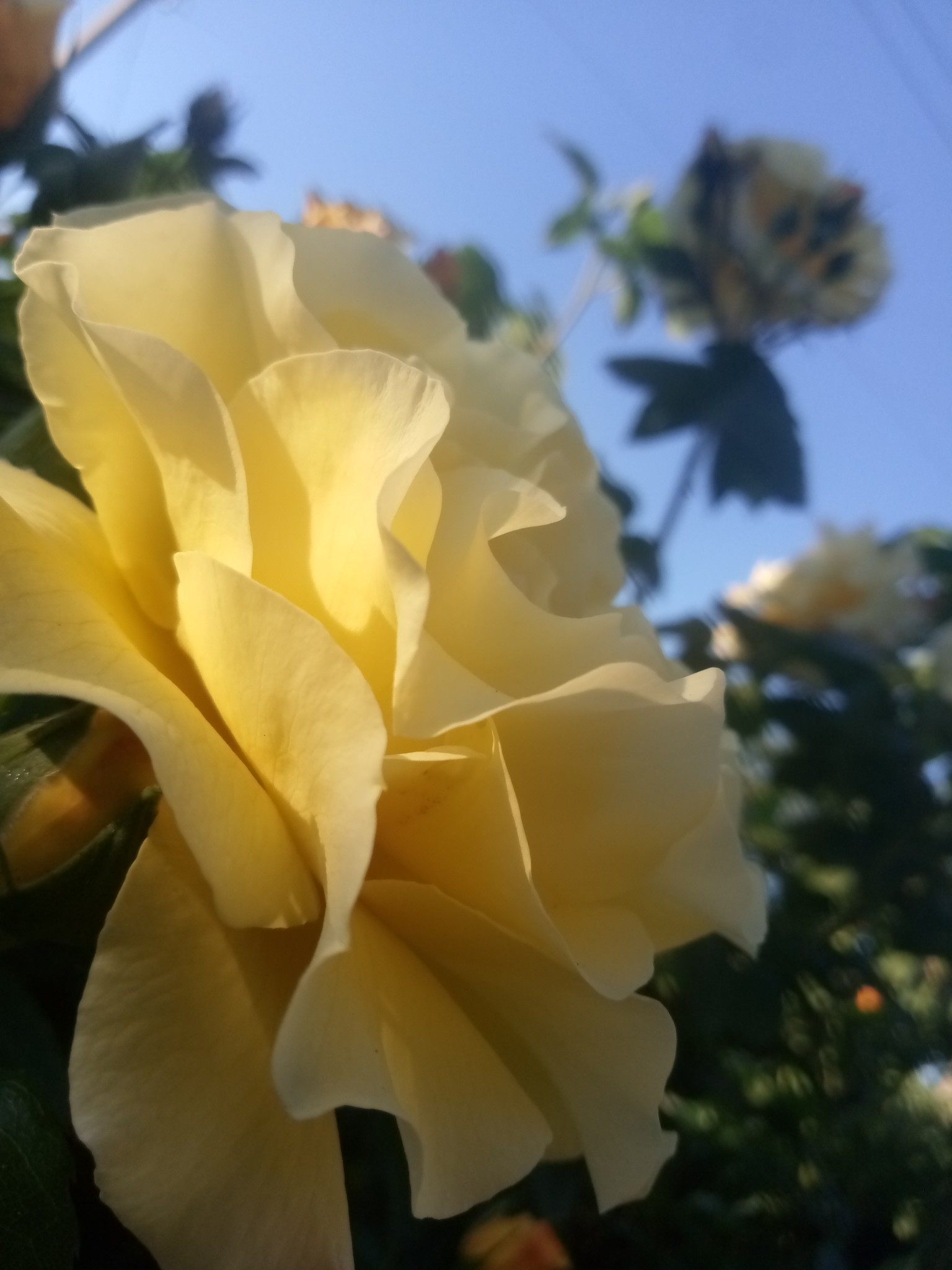 Yellow rose pictures