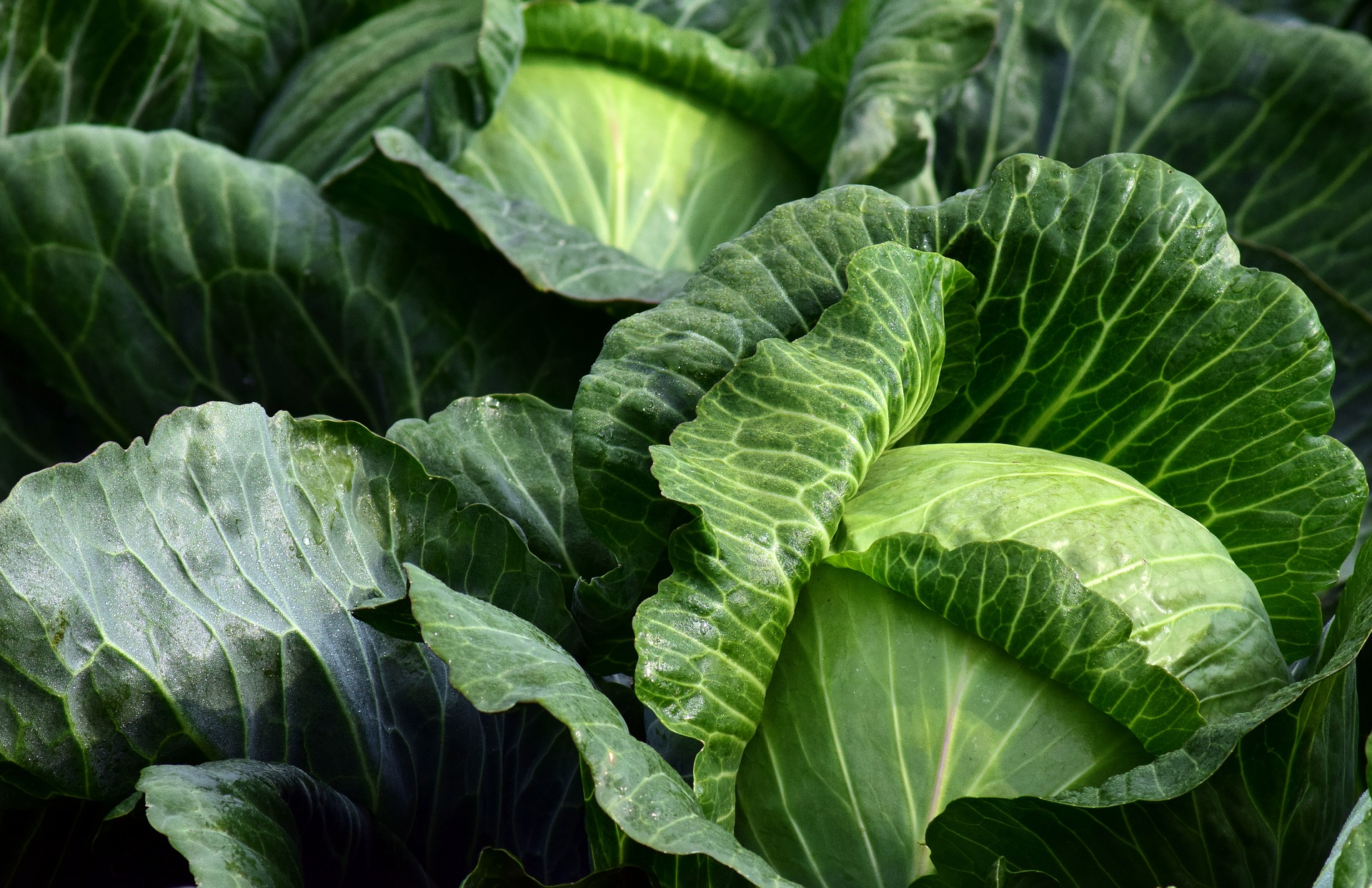 The technology of growing cabbage in Russia