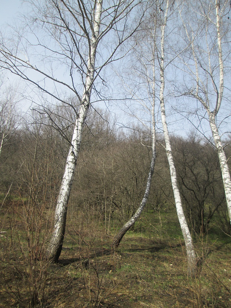березки фото ранняя весна (1)