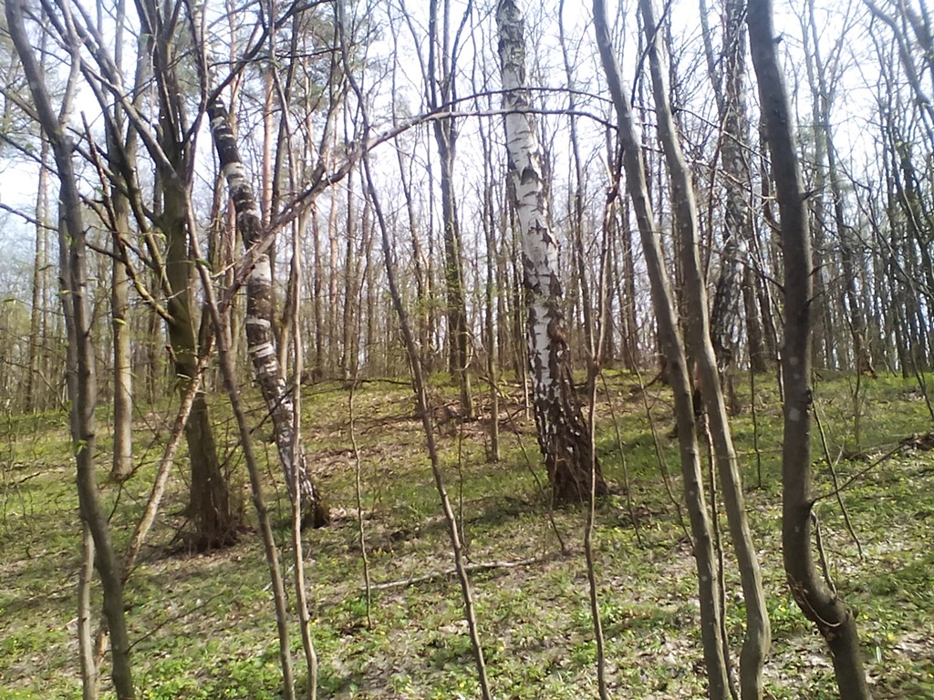 березы весной фото 1 (3)