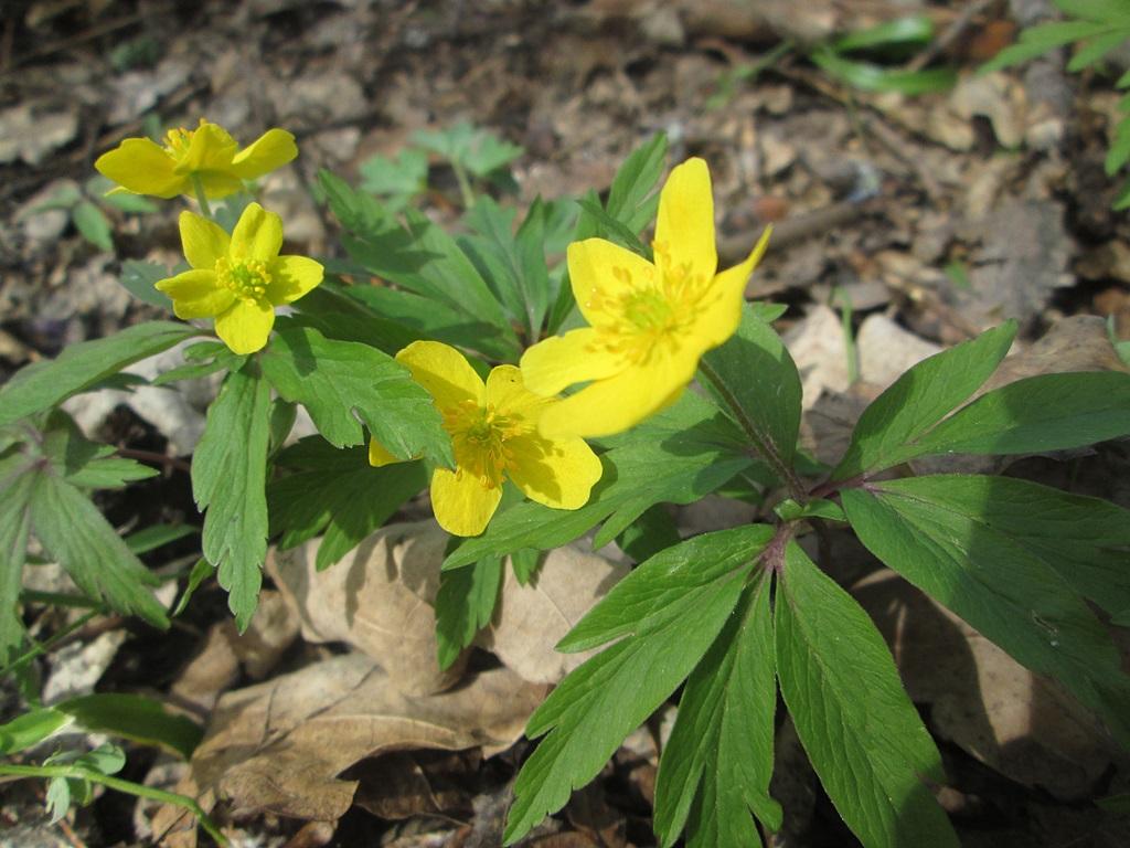 весенние цветы фото (8)