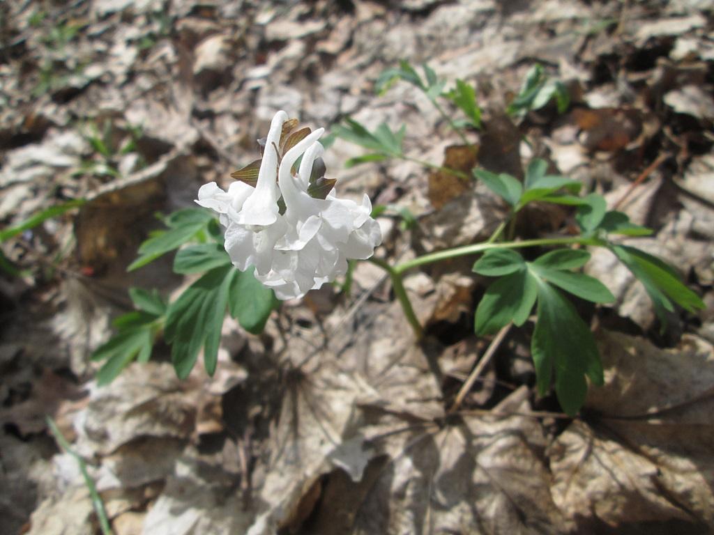 весенние цветы хохлатка фото (3)