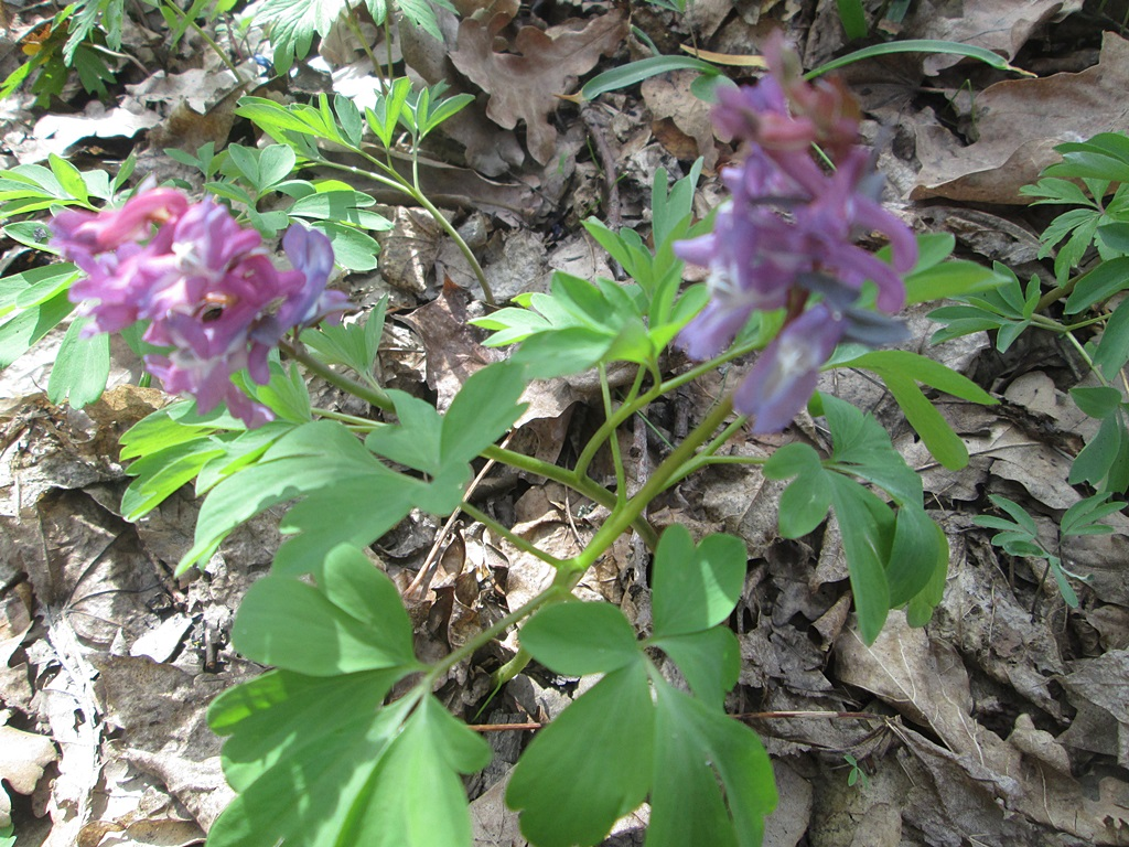 весенние цветы хохлатка фото (4)