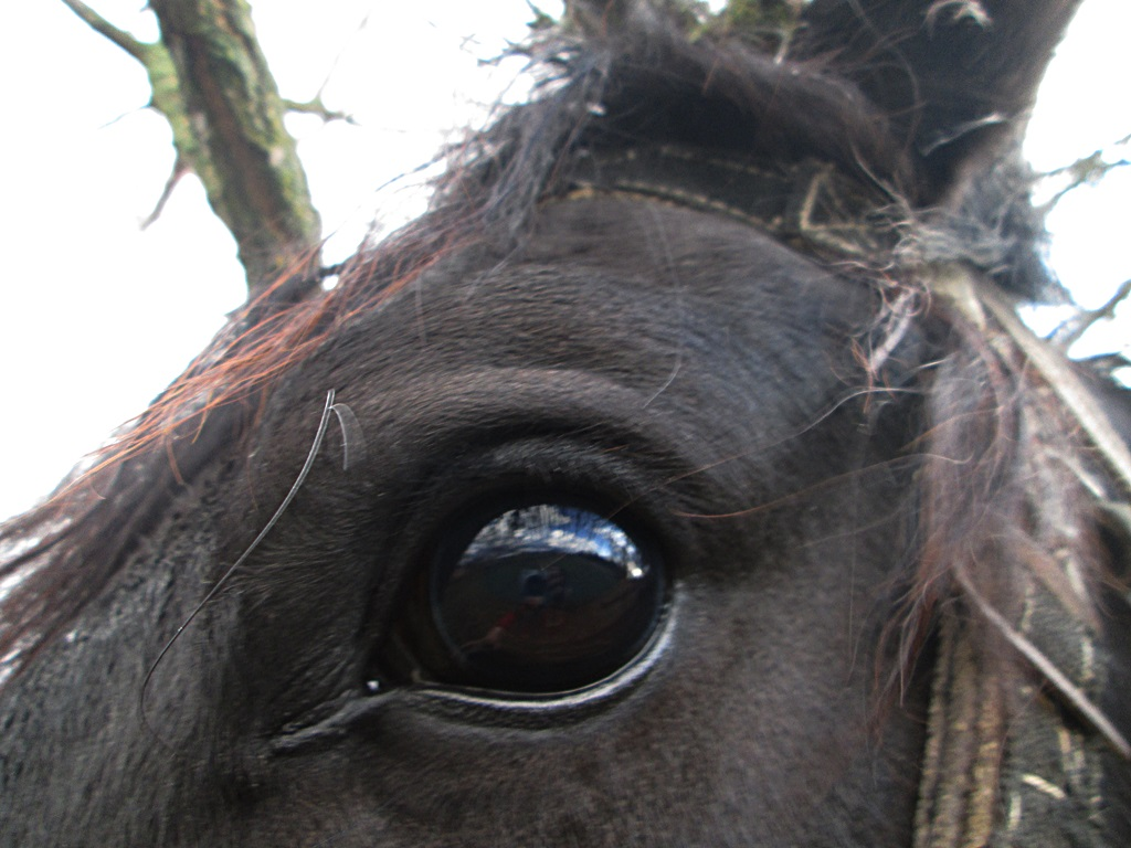 Eye of a horse - photo