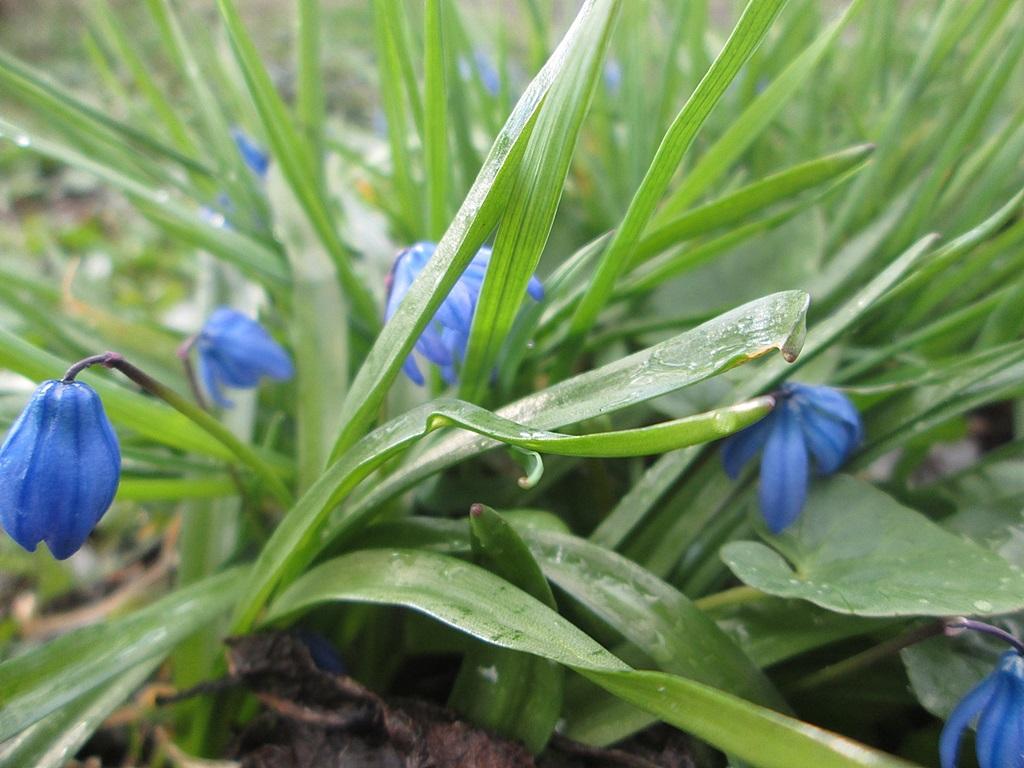 голубая пролеска сцилла фото 1