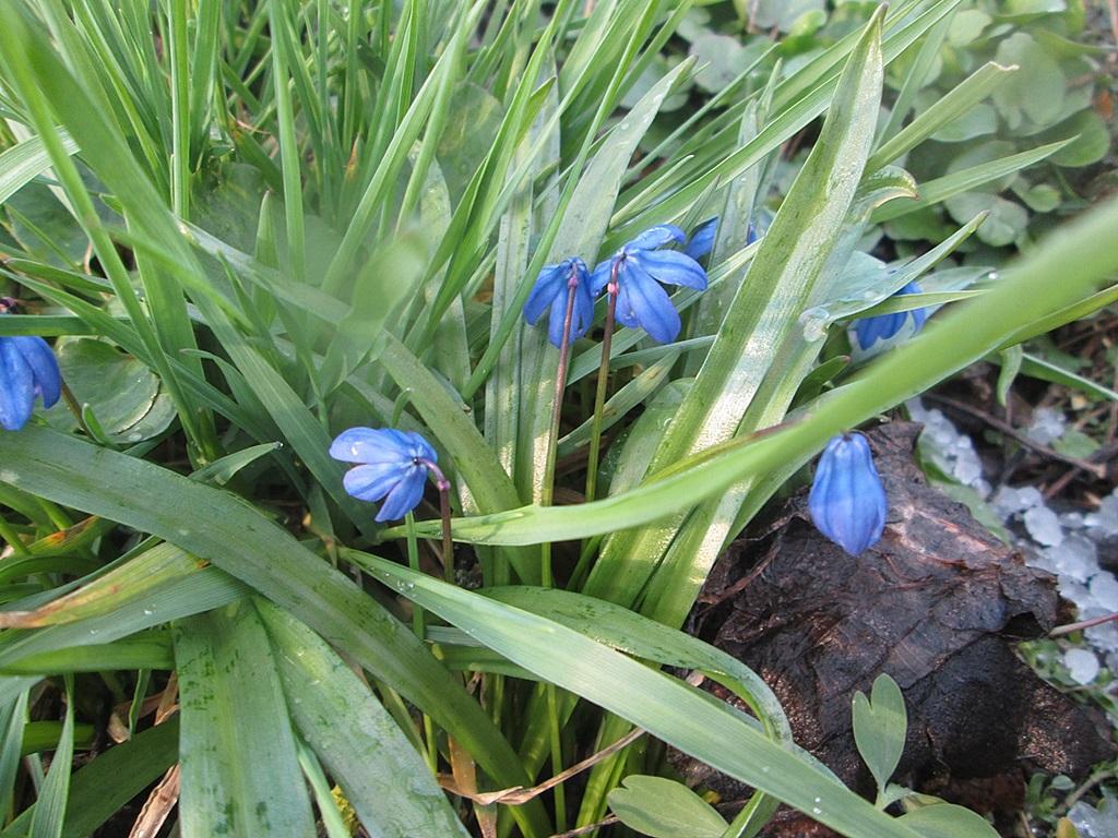 голубая пролеска сцилла фото 4