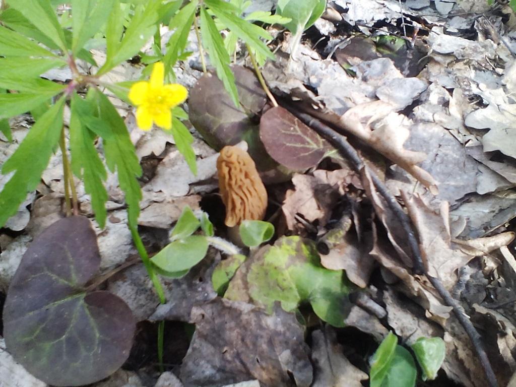 гриб сморчковая шапочка фото (12)