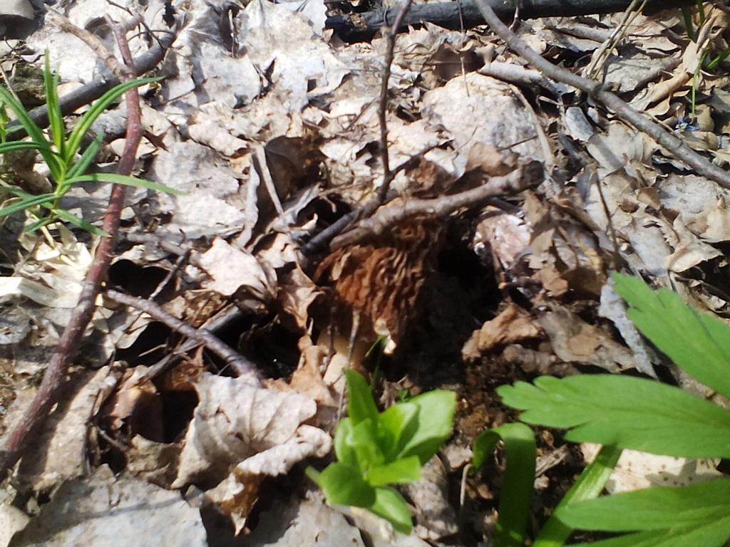 гриб сморчковая шапочка фото (22)