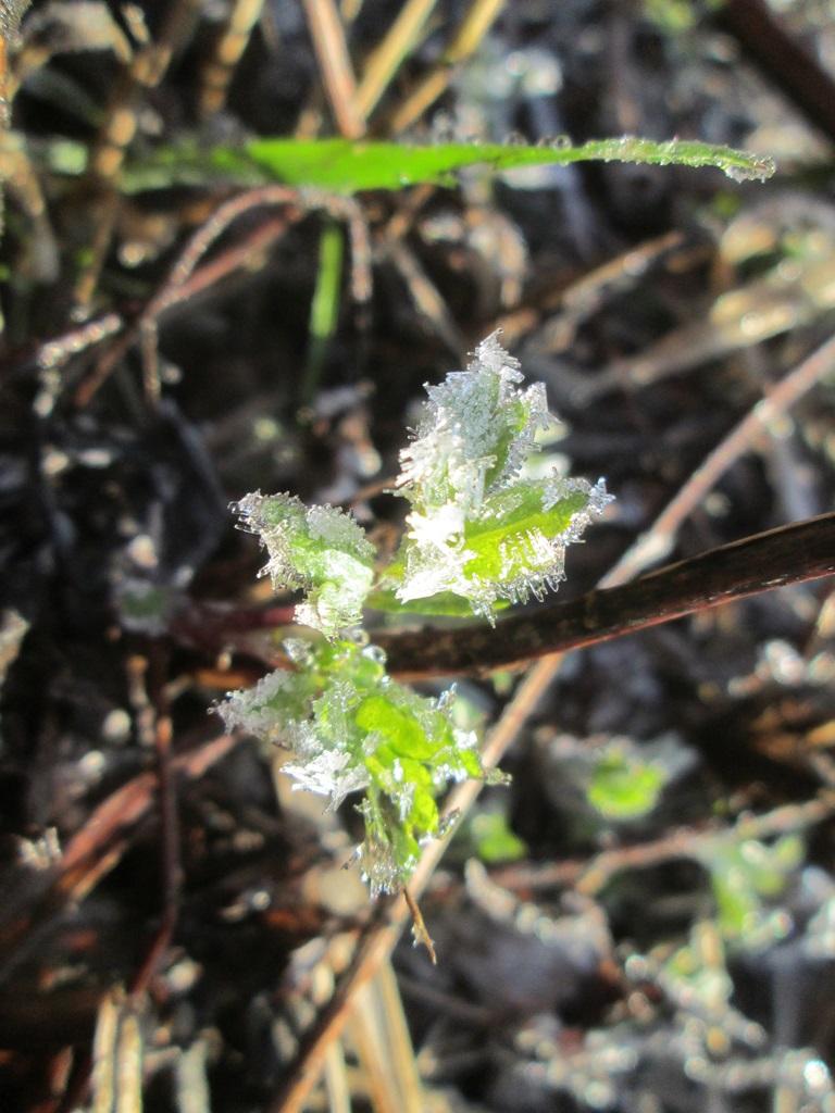 изморозь, иней на траве, трава покрыта инеем фото (10)