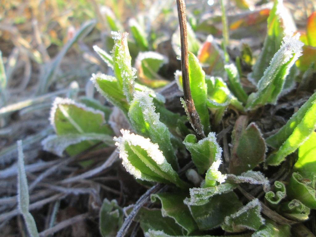 изморозь, иней на траве, трава покрыта инеем фото (5)