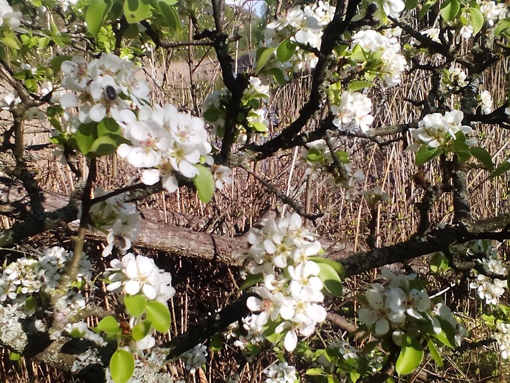 как цветет груша - цветы дикой груши (2)