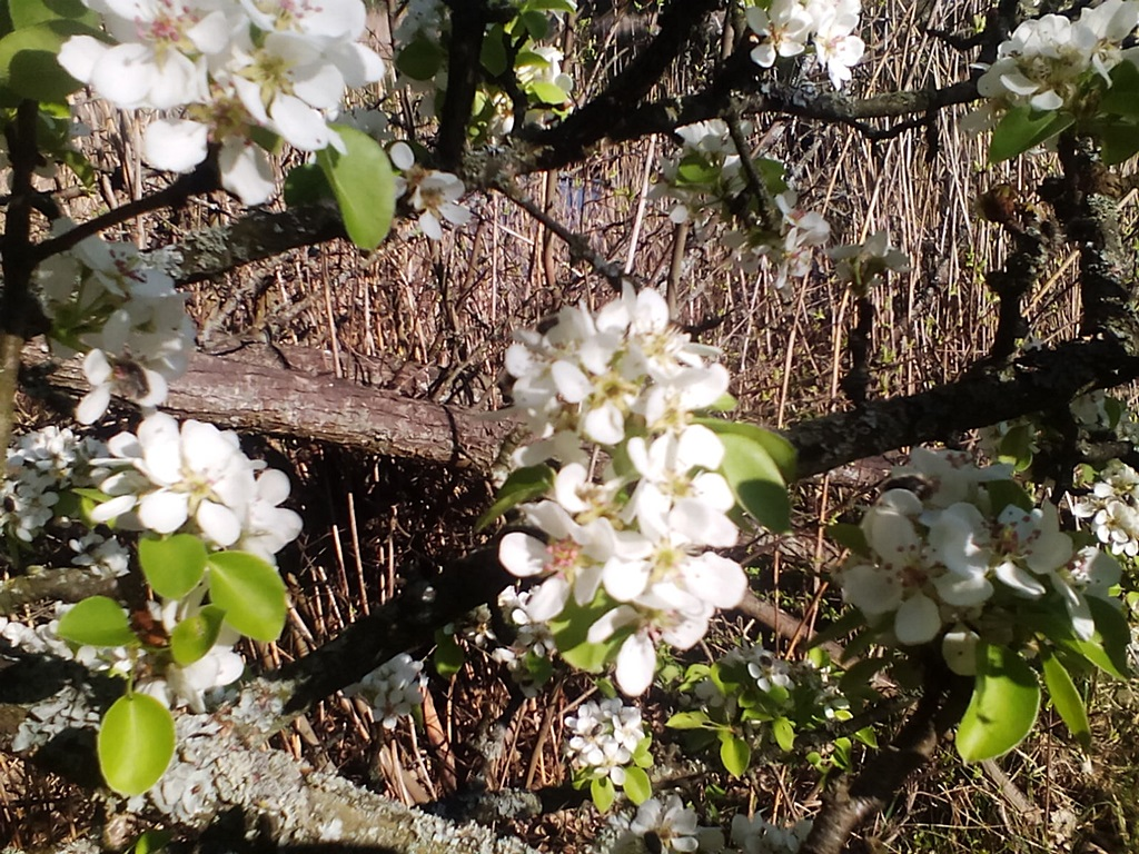 Цветы дикой груши – фото