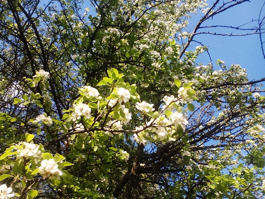 как цветет груша - цветы дикой груши (5)