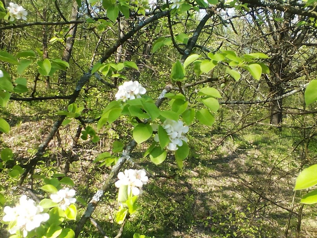 как цветет груша - цветы дикой груши (6)