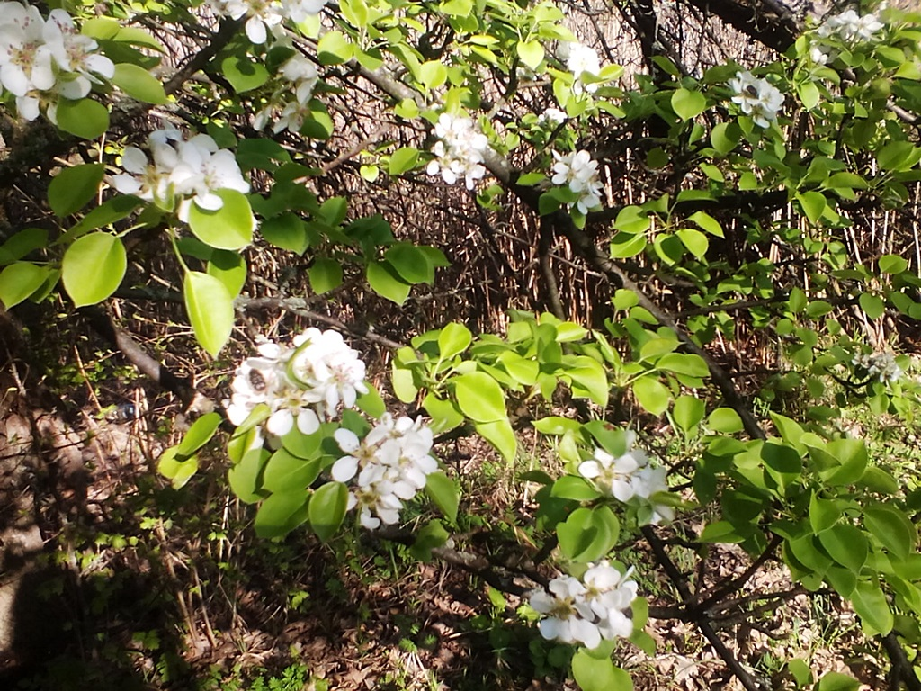 как цветет груша - цветы дикой груши (7)