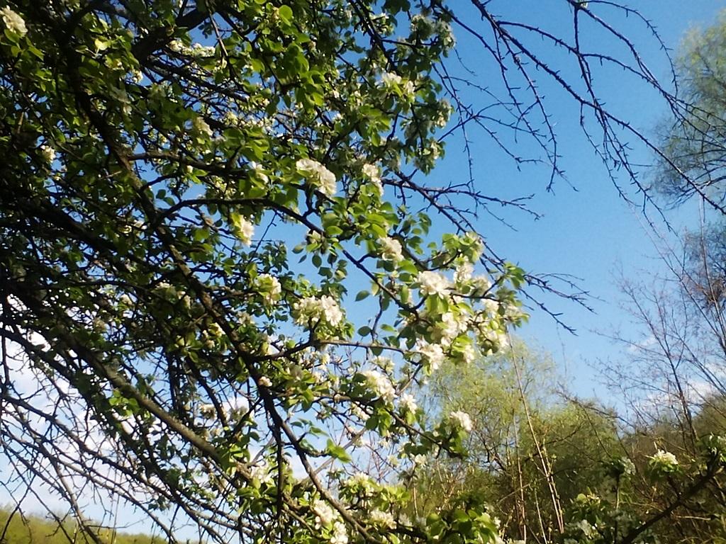 как цветет груша - цветы дикой груши (8)