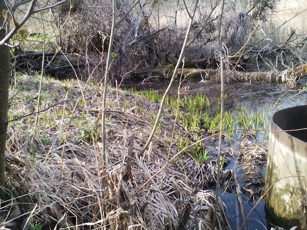 старый пруд - ставок в Рогах (4)