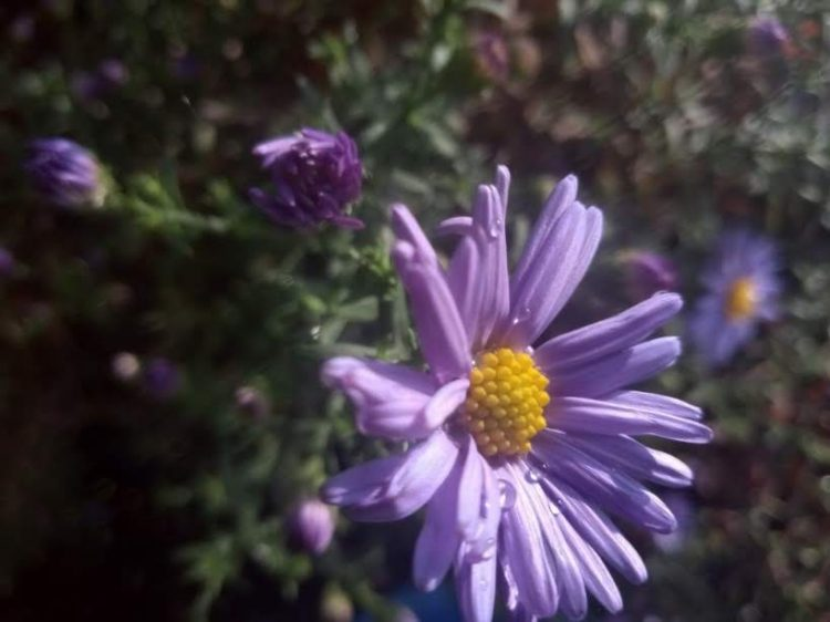 New York aster photos