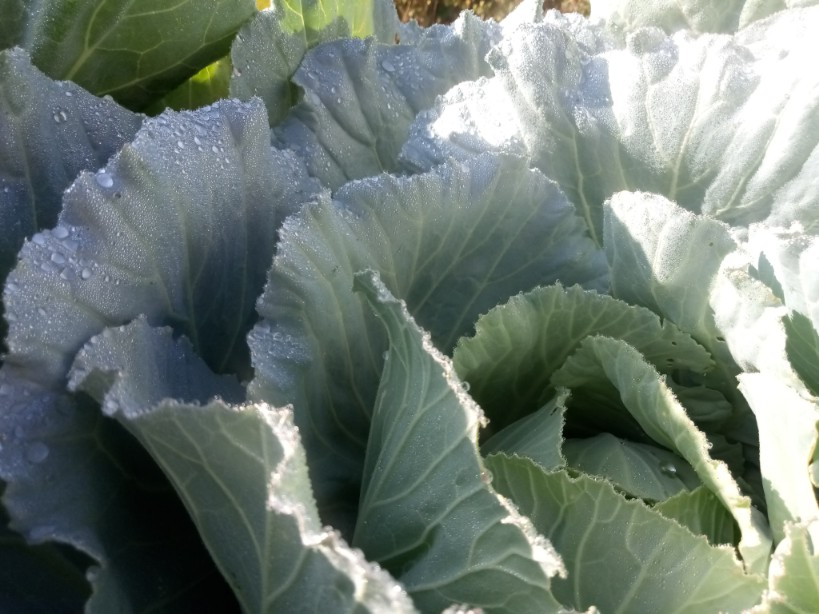 Green leaves cabbage photo