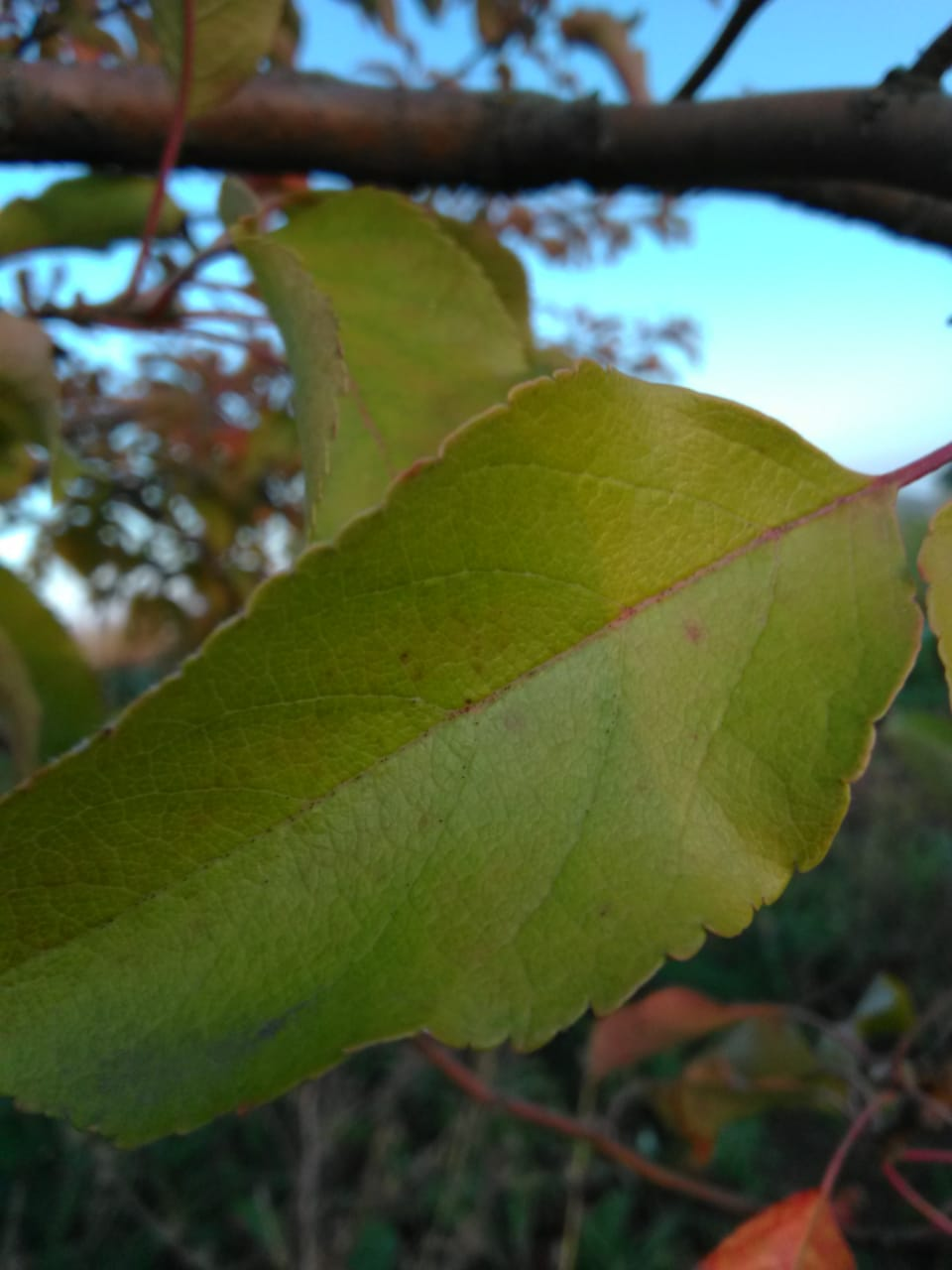 Apples leave photo