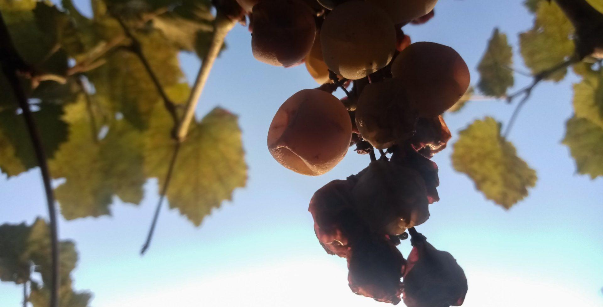 Amazing grape photos