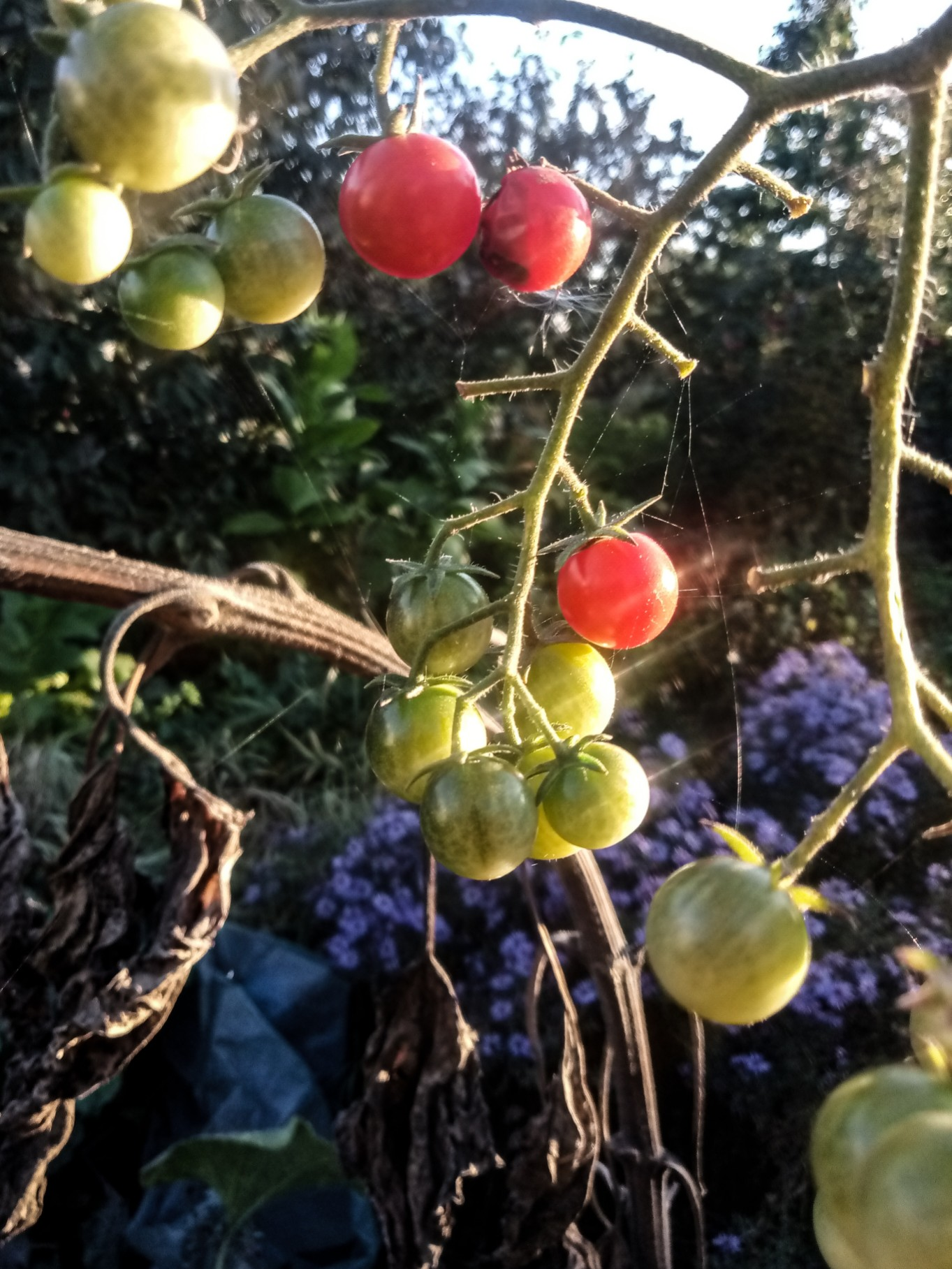Cherry tomatoes photo 9