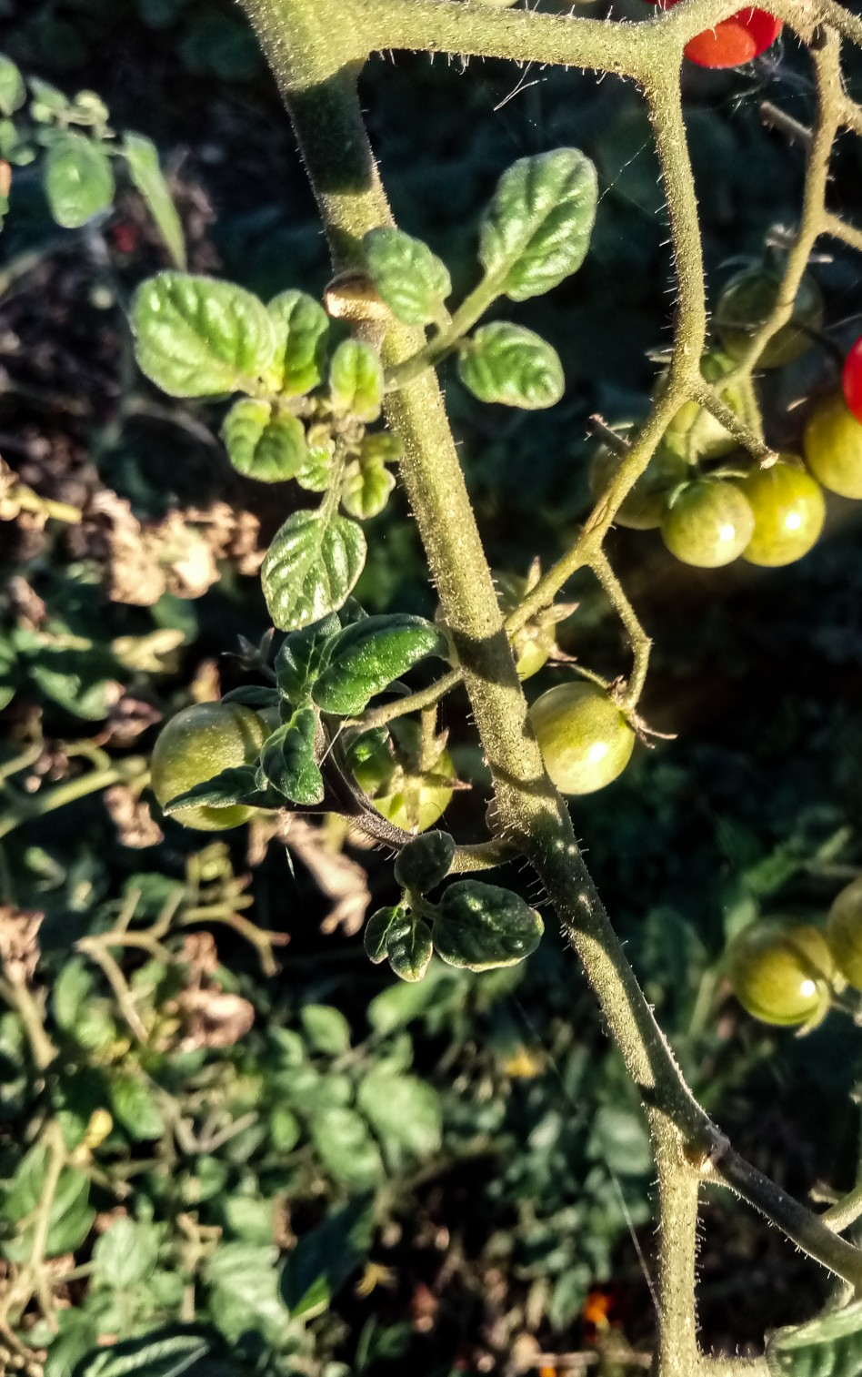 Cherry tomatoes photo 11