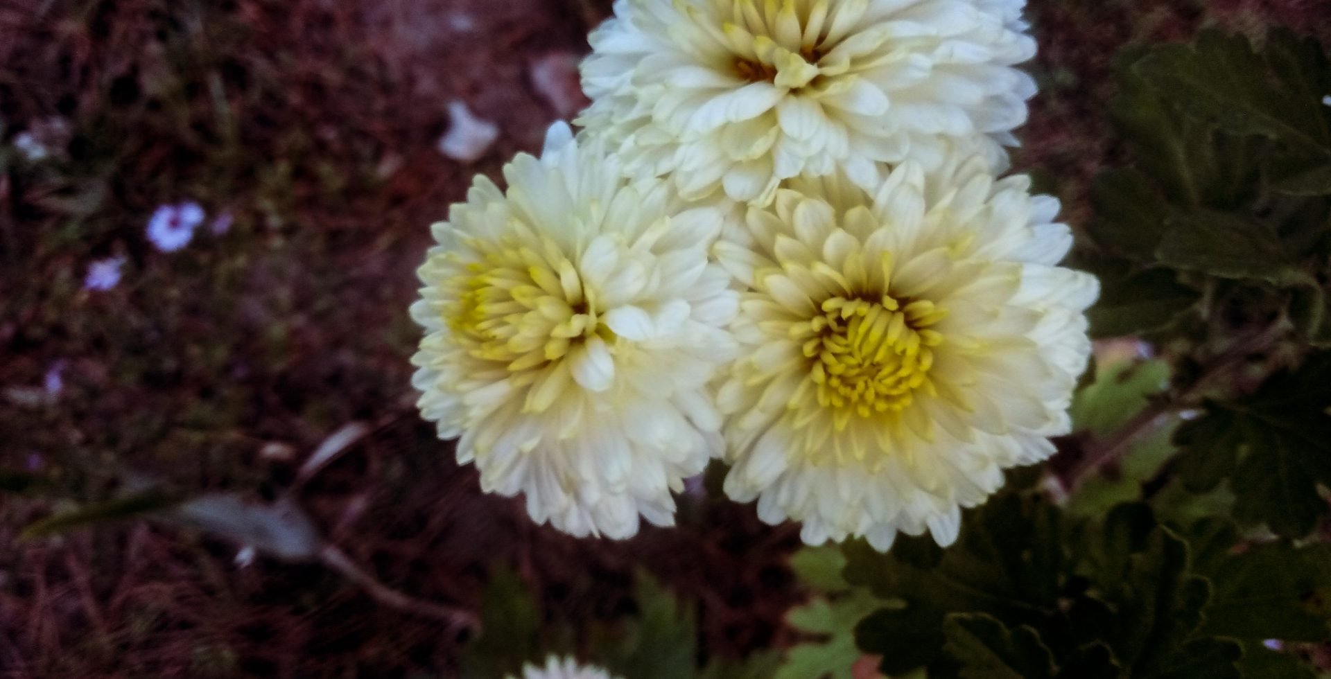 Chrysanthemums photos  or mams beauty