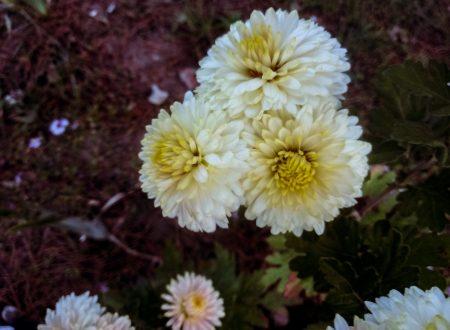 Chrysanthemums photo 10