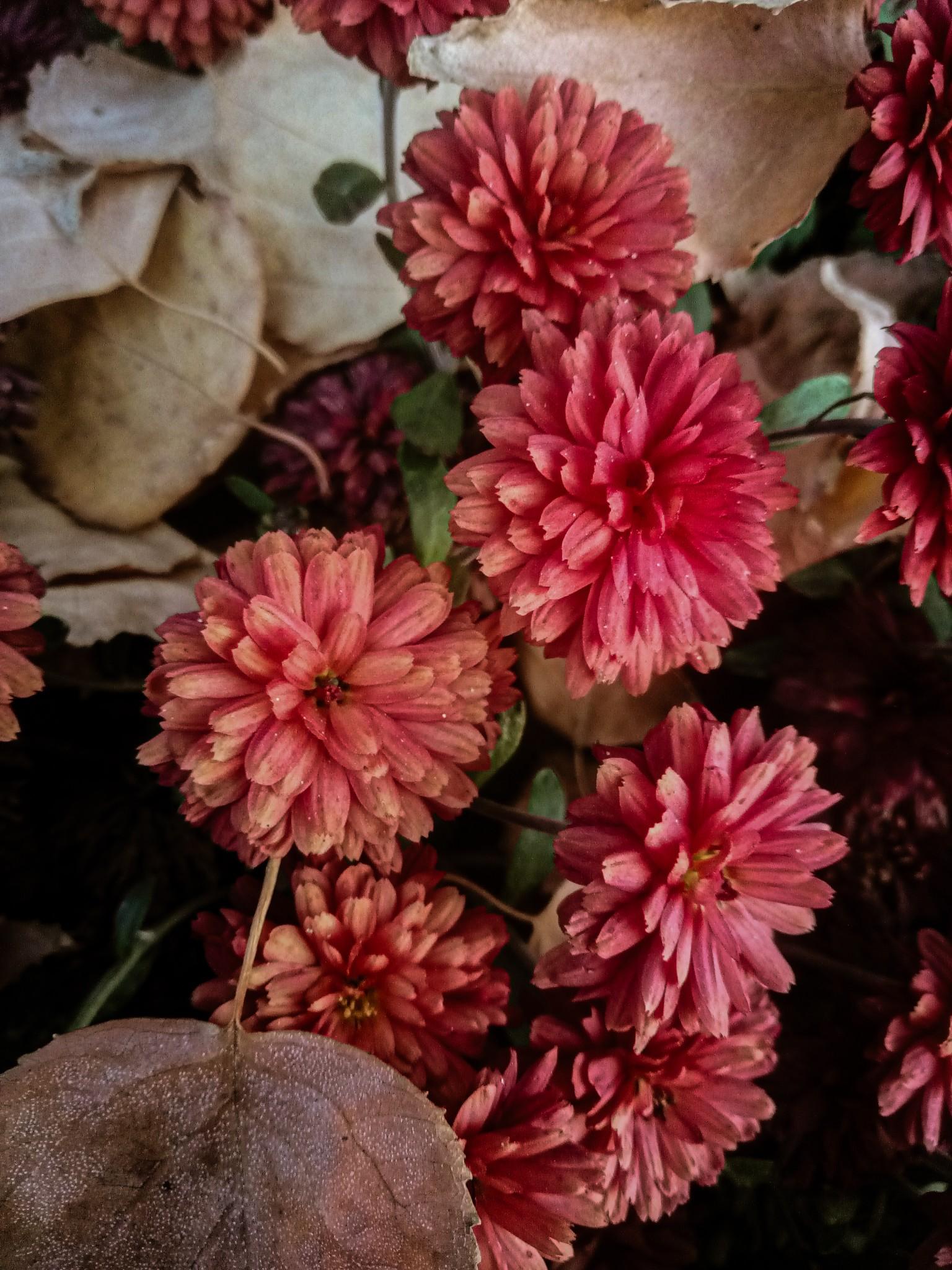 Chrysanthemums photo 3