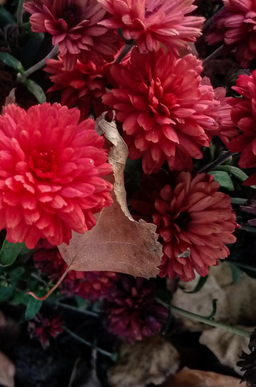 Chrysanthemums photo 5