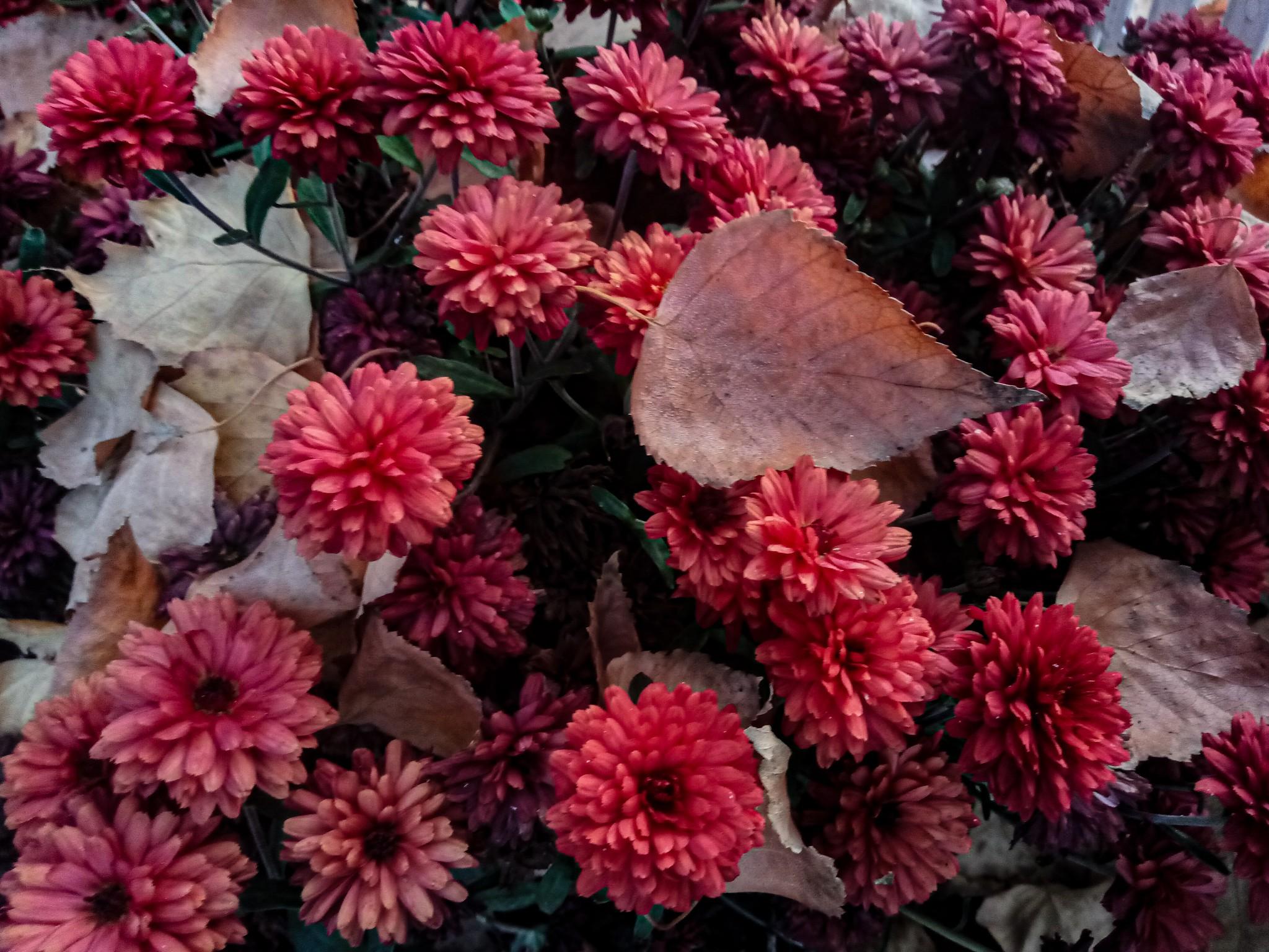 Chrysanthemums photo 6