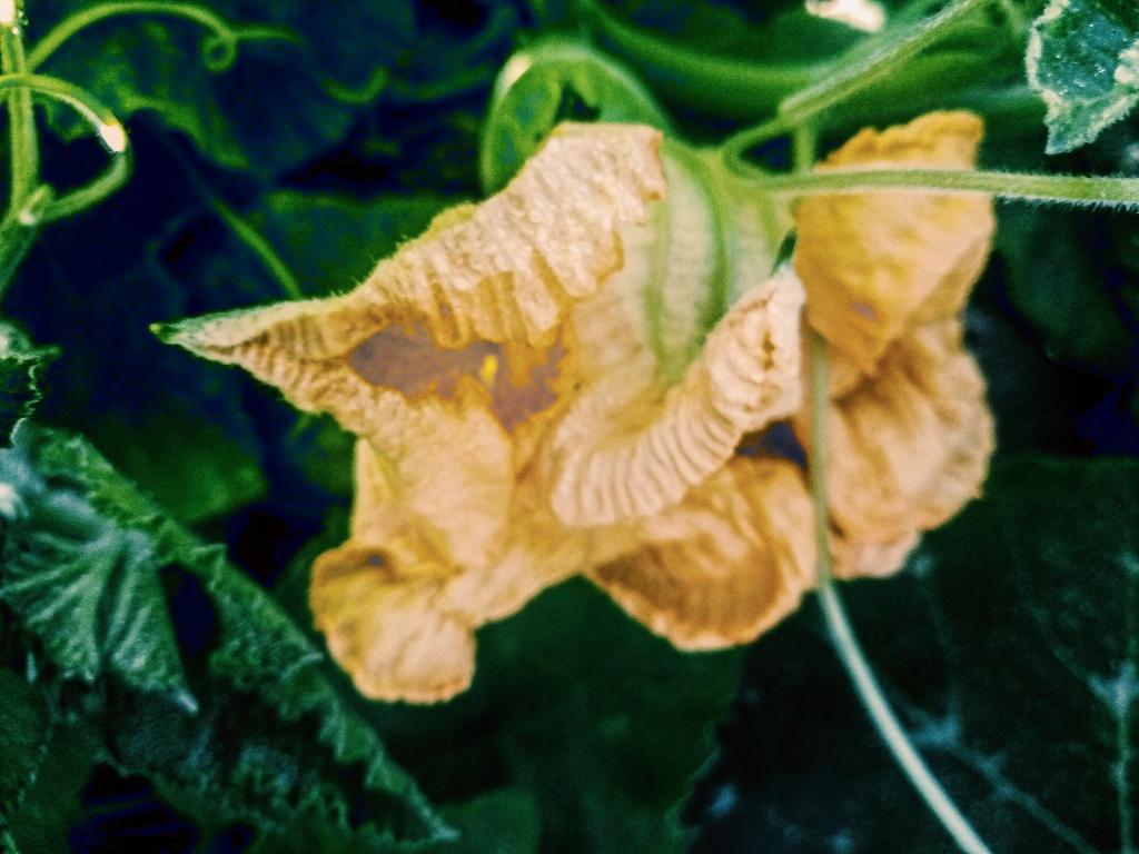 Цветы тыквы фото 2