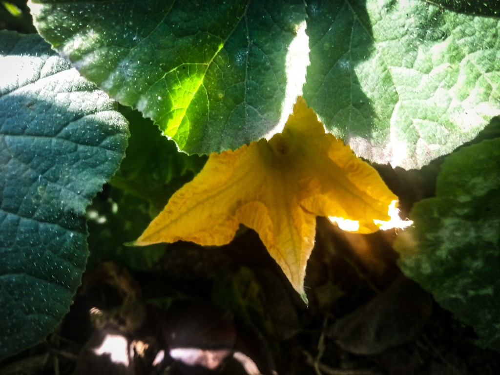 Pumpkin flowers photo 8