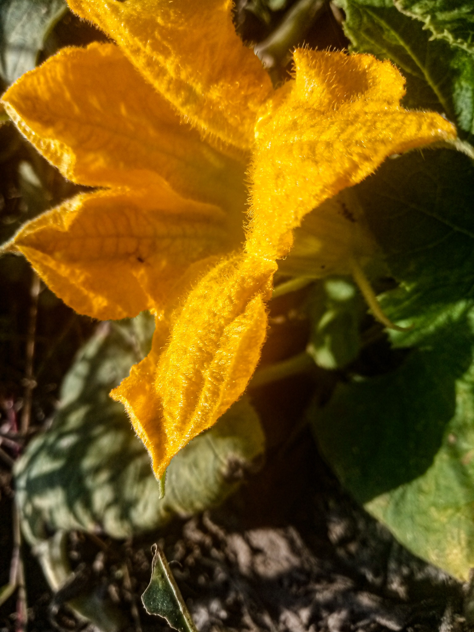 Pumpkin flowers photo 11