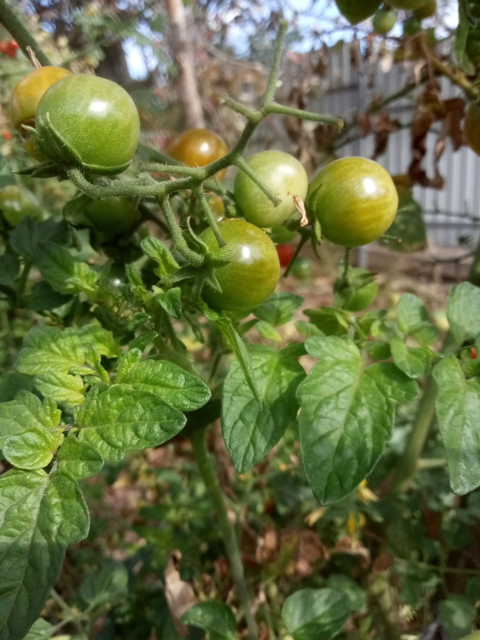 Cherry tomato photos