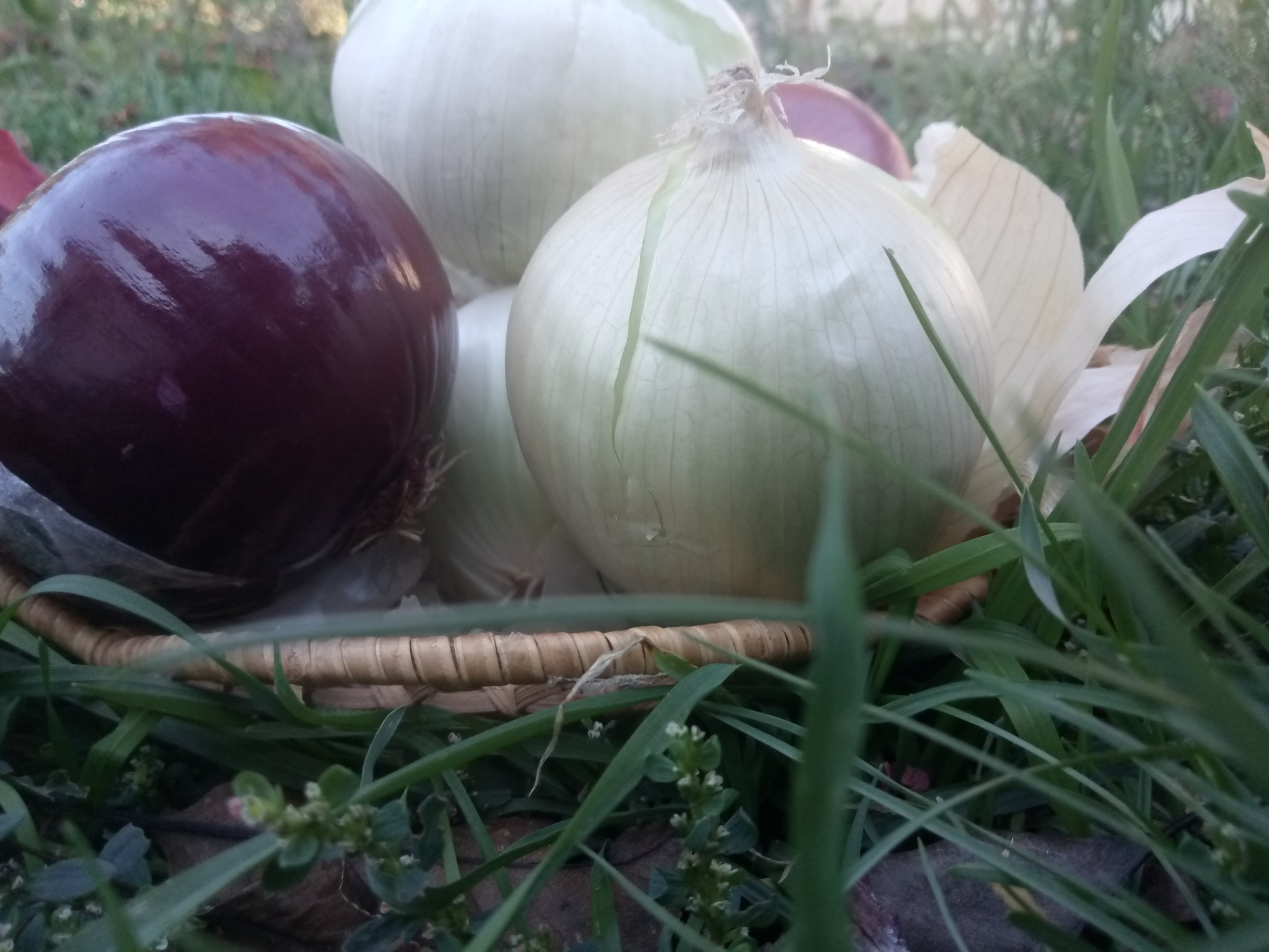 Red and white onion photo