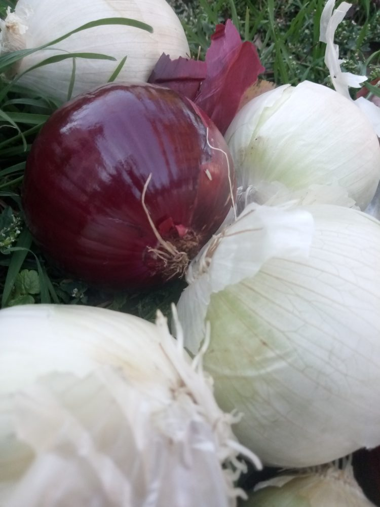 Red and white onion  20 beautiful photos
