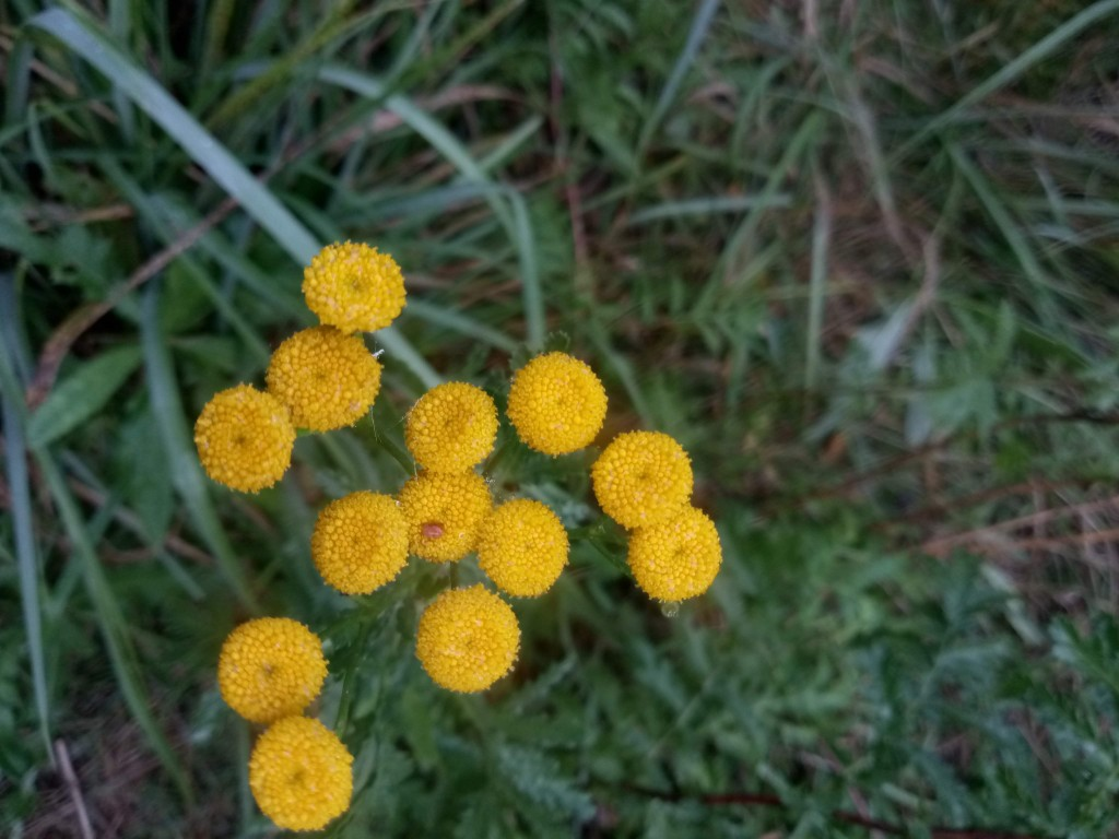 Autumn tansy photo 1
