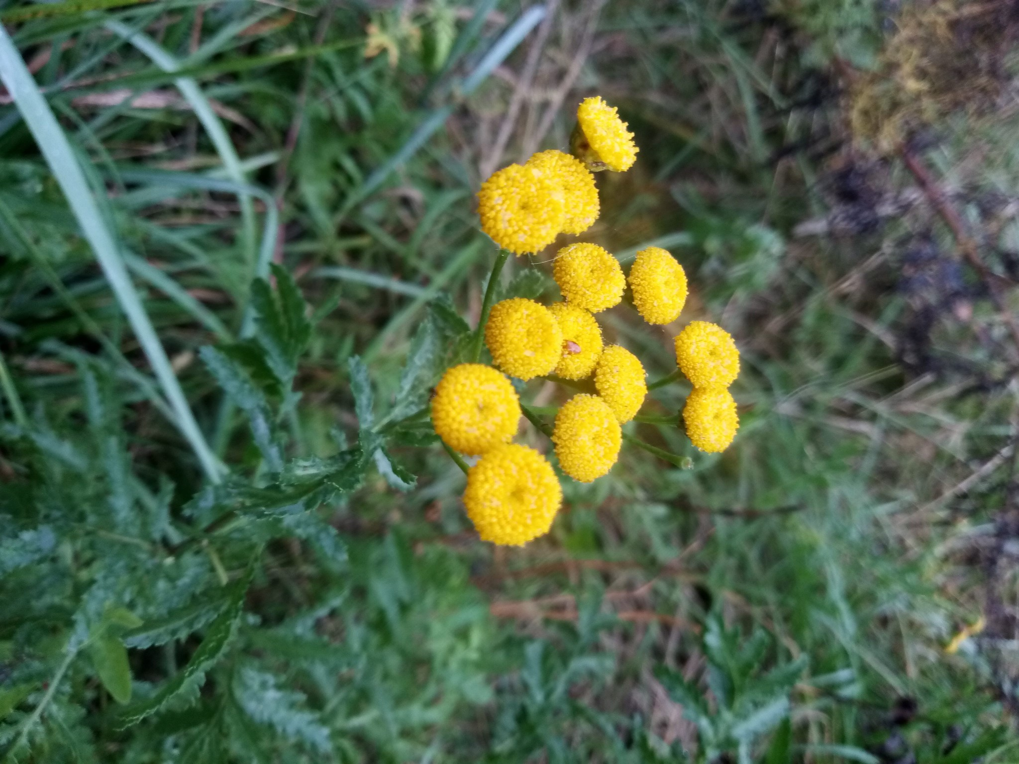 Autumn tansy photo 2